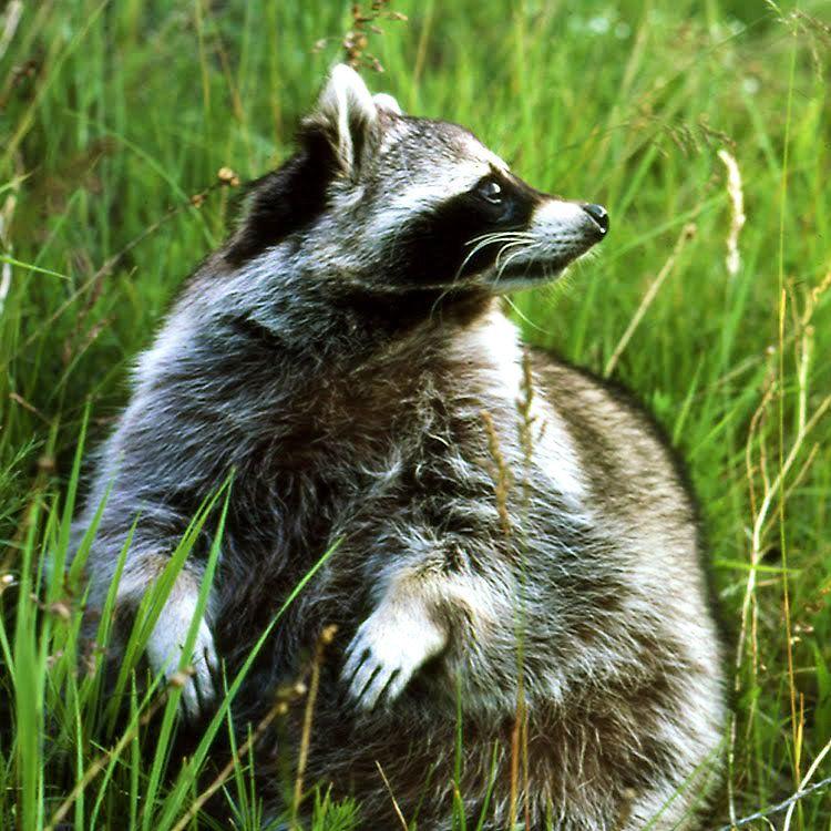Raccoon Glam Stanleigh and Friends Sticker Cute