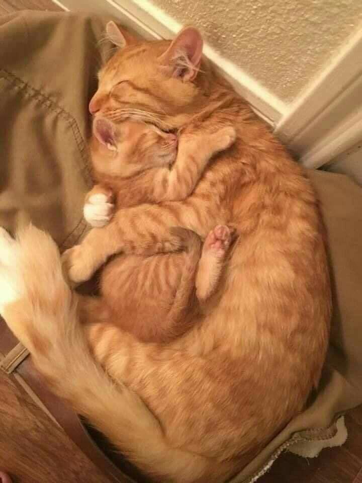 Kedi ve yavrusu #gingerkitten