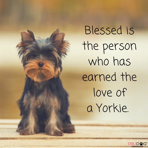 Love My Baby Yorkie Yorkshireterrier With Images
