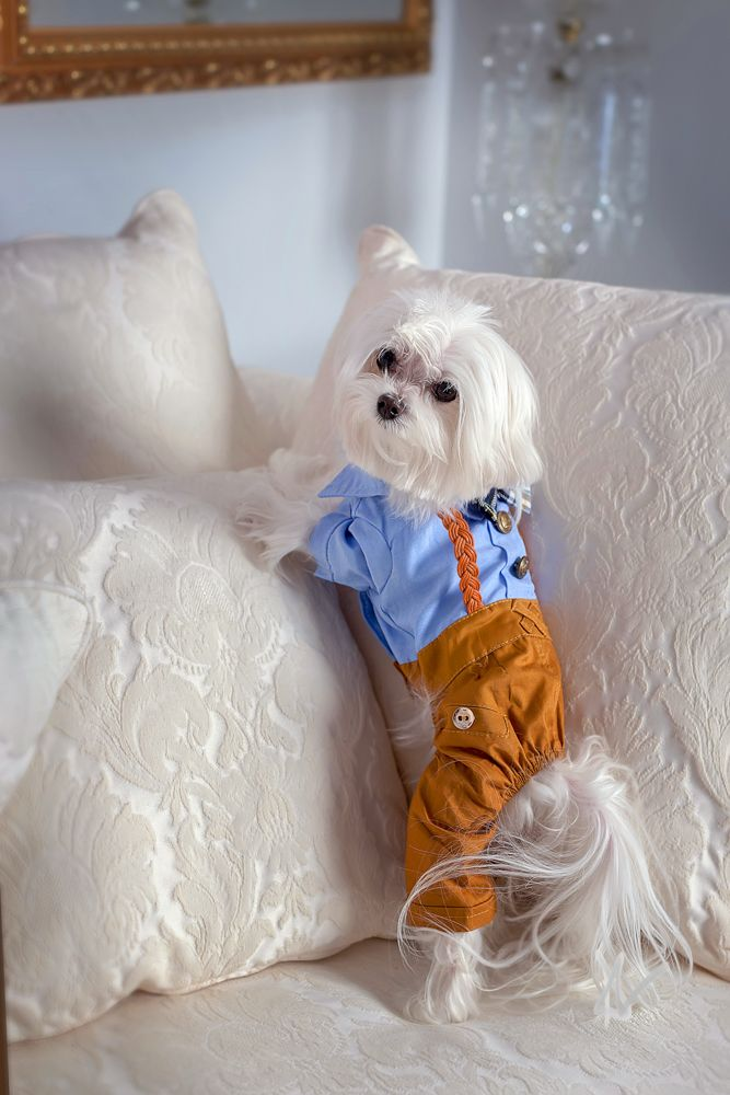 A Super Cute Maltese Shows Off His Outfit Pet Photography By Award Winning Pet Photographer Abby Malone Of Paw Teacup Puppies Maltese Hyper Dog Dog Photograph