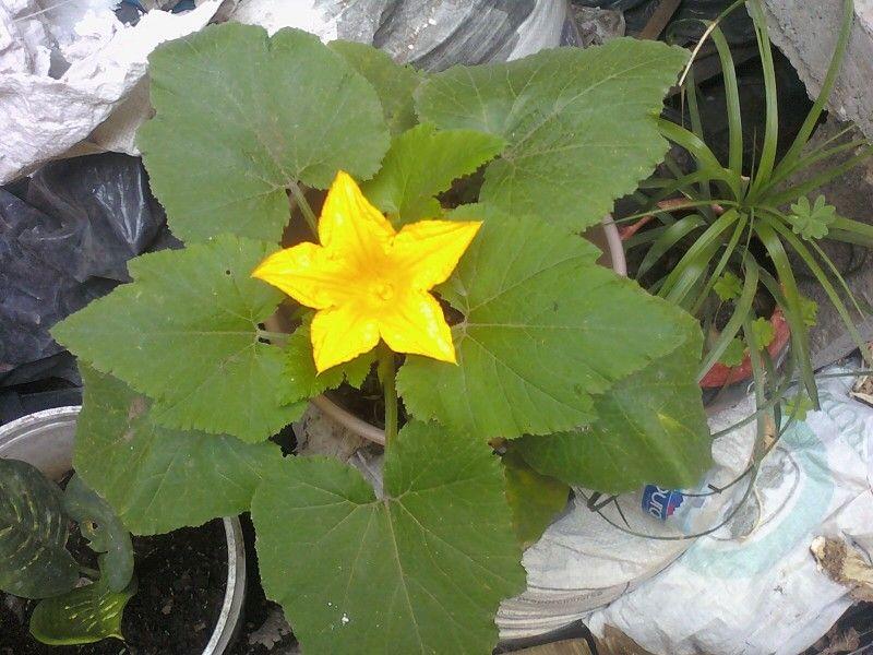 Squash blossom / Flor de Calabaza