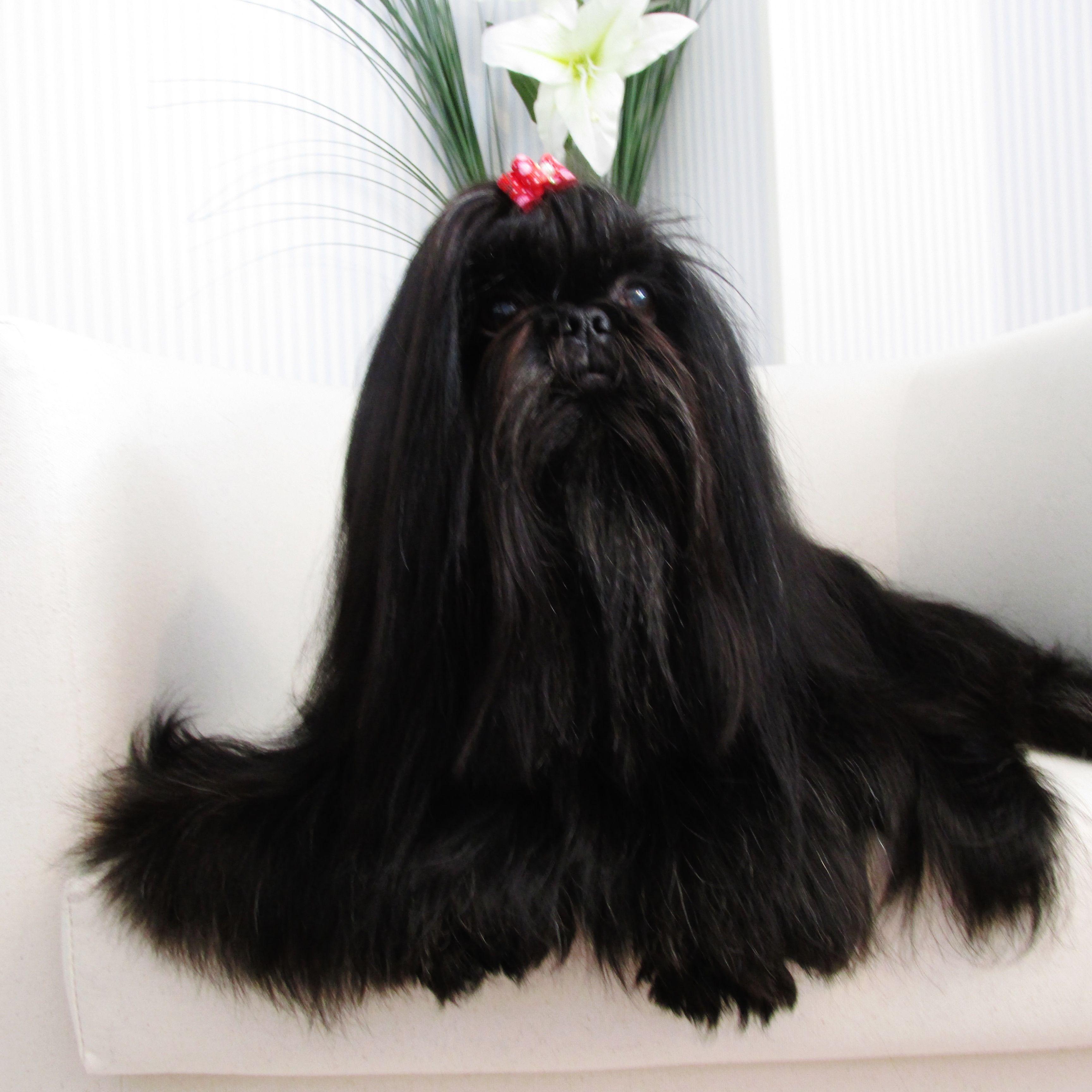 Shih Tzu Black Female Shih Tzu Shih Tzus Shih Tzu Dog