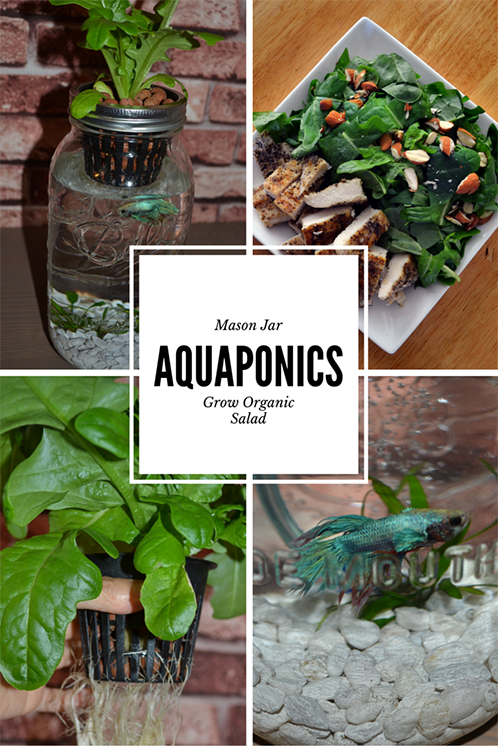 Grow your own salad with mason jar aquaponics indoor herb for Fish tank herb garden