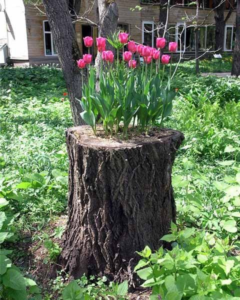 Hergebruik van een oude stronk. Tulpenbollen geplant in de holte van een boomstronk