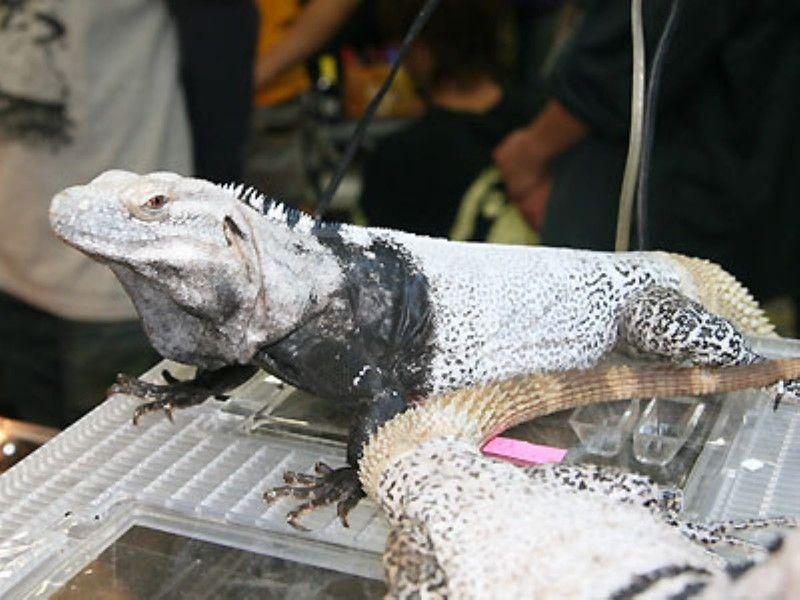 サンエステバントゲオイグアナ 爬虫類の基本知識と飼育方法 イグアナ 爬虫類 トカゲ
