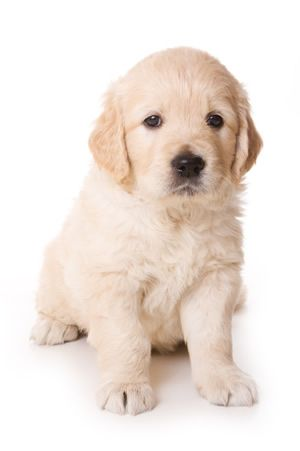 How Can You Say No To This Retriever Puppy Golden Retriever