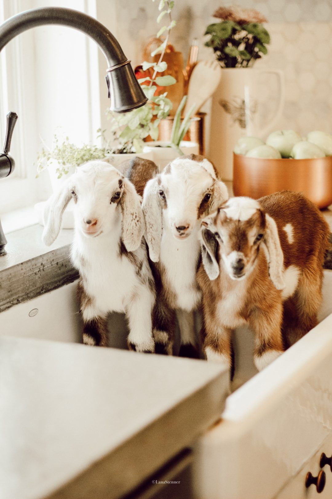 Welcoming The Baby Goats To The Stenner Farm Baby Farm Animals