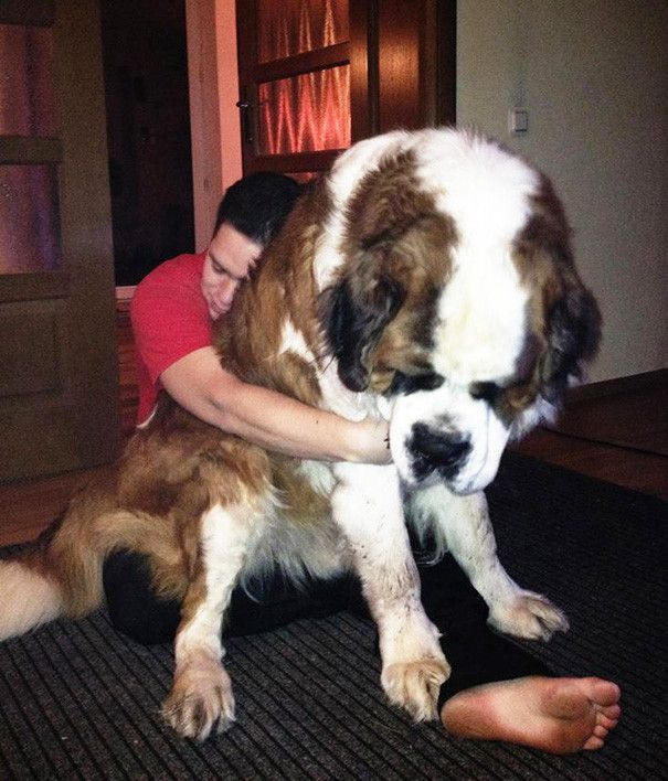 Image result for 犬  Saint Bernard  悲しい