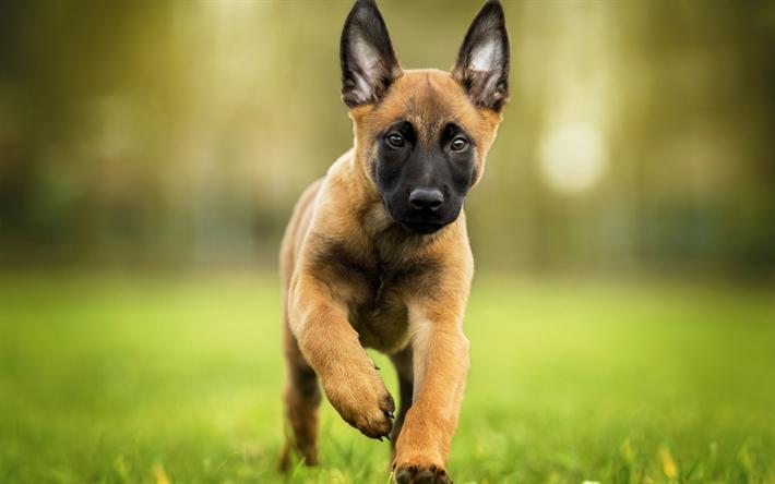 T l charger fonds d 39 cran les malinois chien chien de for Fond ecran chiot