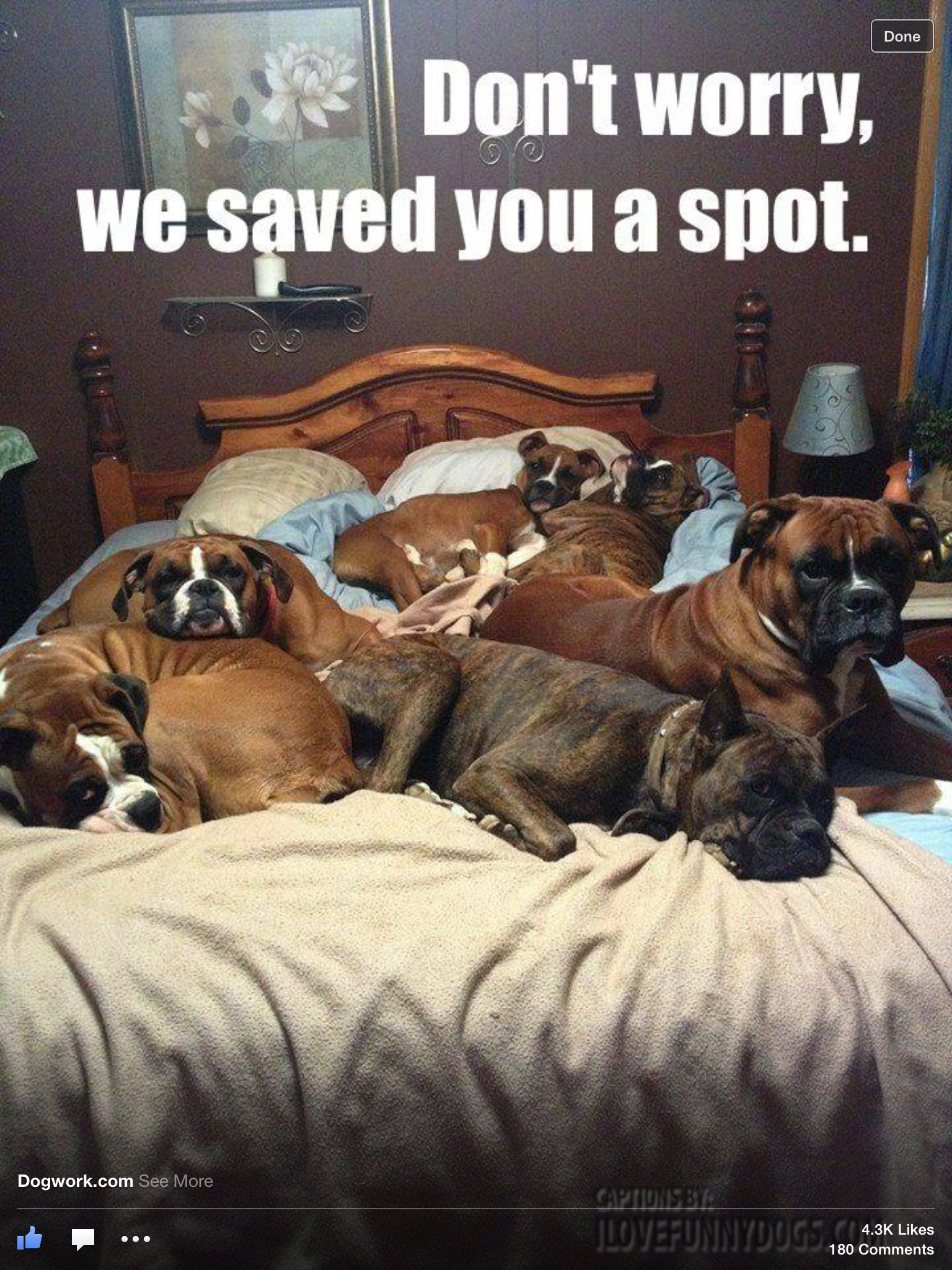 Boxers Boxer Dogs Funny Animals Funny Dogs