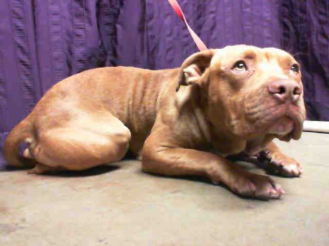 For more information about this animal, call: San Bernardino City Animal Control at (909) 384-1304 Ask for information about animal ID number A449386  www.PetHarbor.com pet:SBCT.A449386