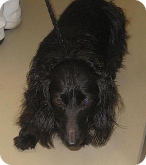Johnson City Tn Dachshund Meet Chewbacca A Dog For Adoption