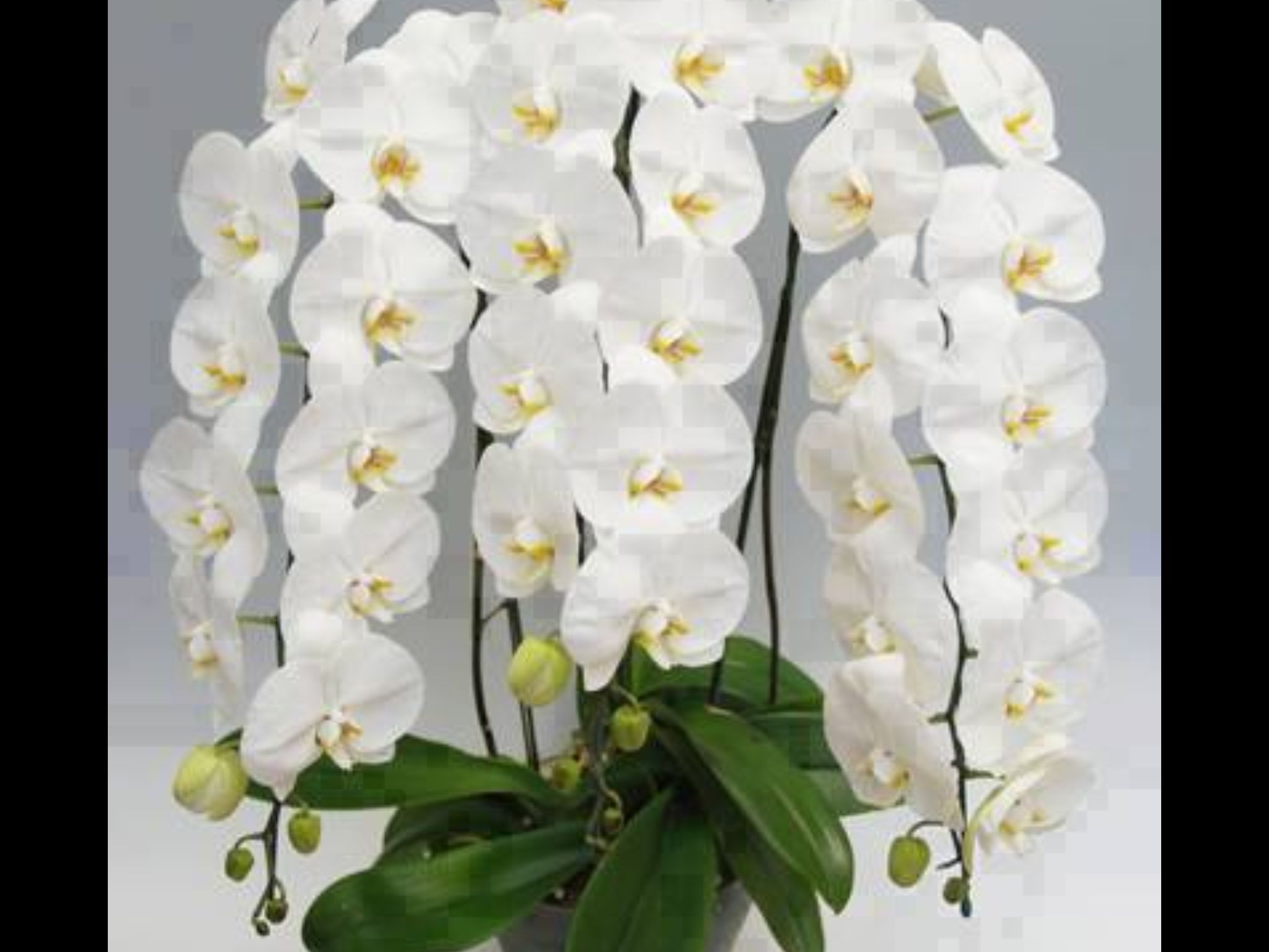 White orchid flowers u garden pinterest white orchids orchid