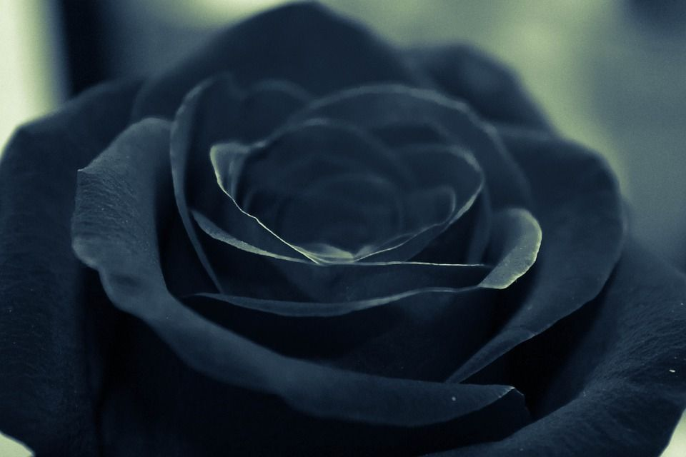Black Rose Even The Symbol Of Darkness In Ones Heart Flowers