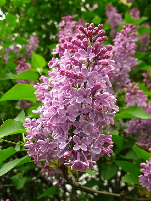 Studioview Lilacs By Dorota S On Flickr Beautiful Flowers Pretty Flowers Flowers Nature