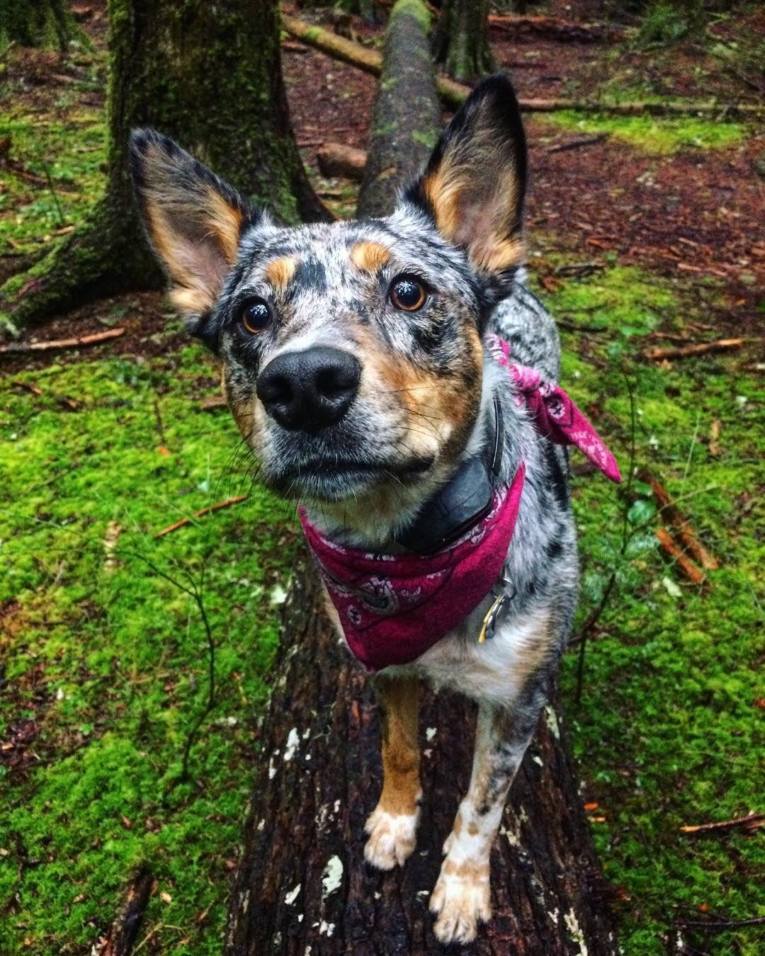 Texas Heeler Australian Shepherd Mixed Dogs & Hybrid