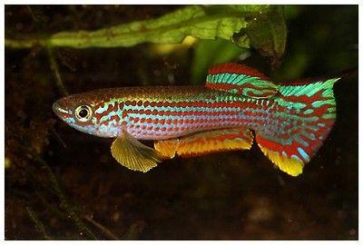 Killifish Striatum 1 young pair at Aquarist Classifieds