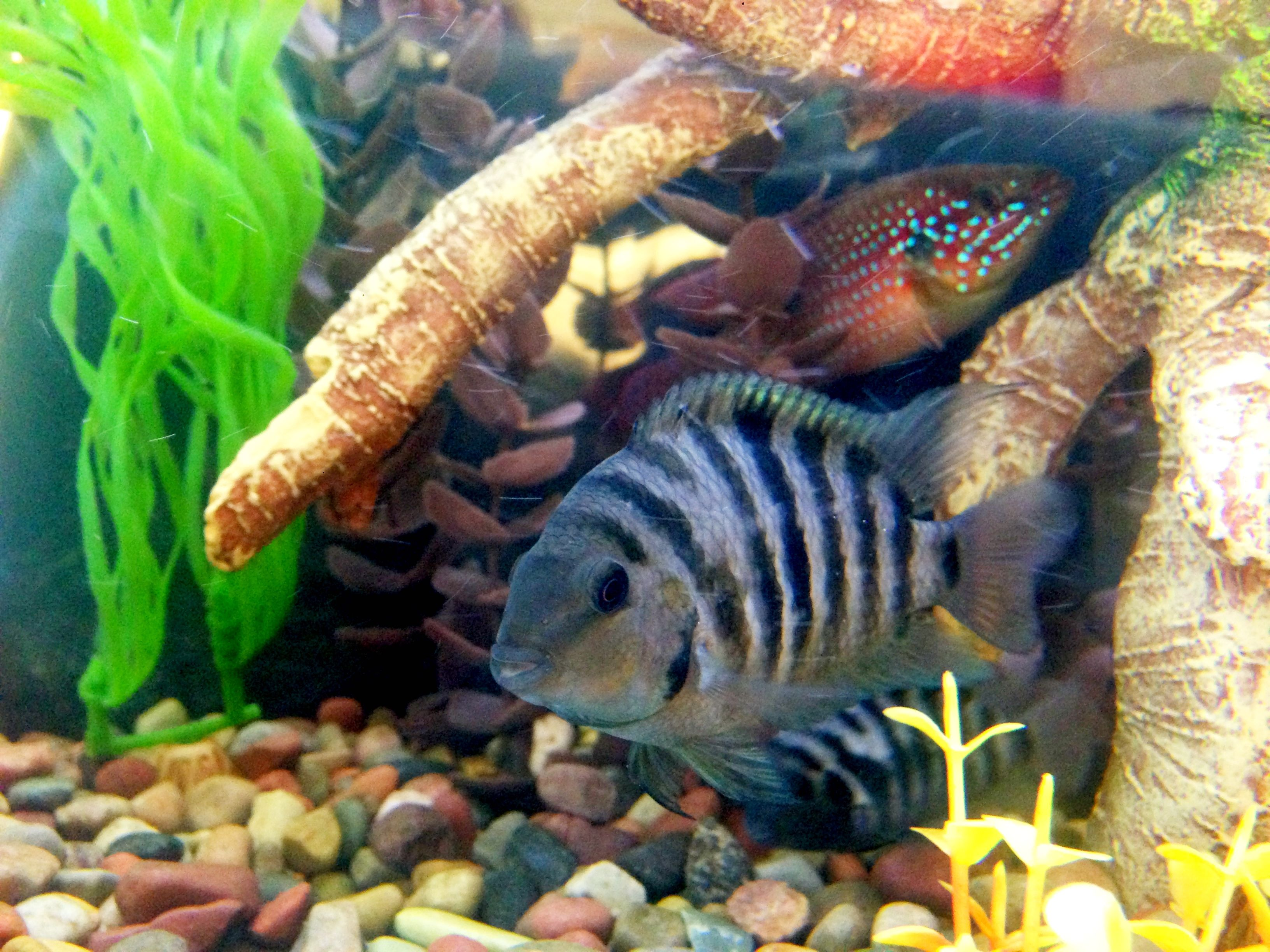 male convict cichlid