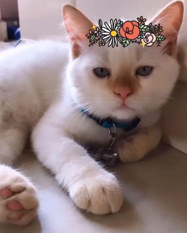 #leothelittlelion #catsofinstagram #catstagram #cats_of_instagram #persiancats #persiancatstagram...