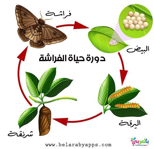 رسم دورة حياة الحيوانات للاطفال مراحل نمو الحيوان بالصور بالعربي نتعلم Life Cycles Moth Life Cycle Animal Life Cycles