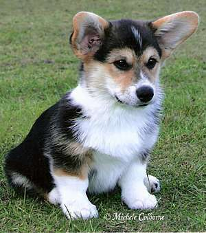 Awe Corgi Corgi Dog Cute Animals