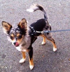 Chihuahua Blue Merle Chihuahua Puppies Cute Animals Kittens And Puppies