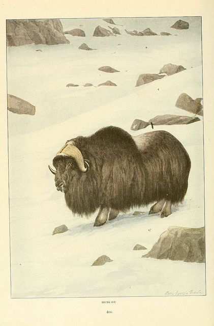 Musk Ox Wild animals of North AmericaWashington, D.C.,The National geographical society[c1918]