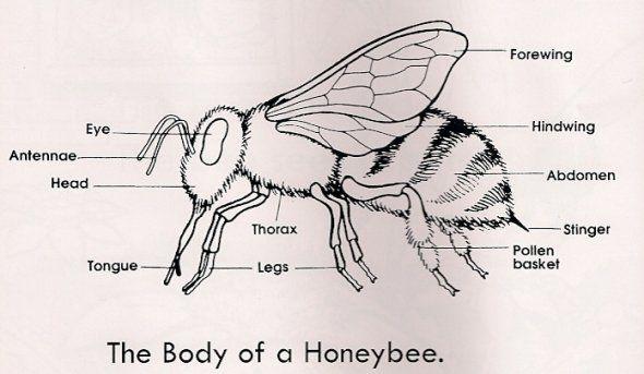 Honeybee Bee Diagram Insect Activities Activity Sheets For Kids