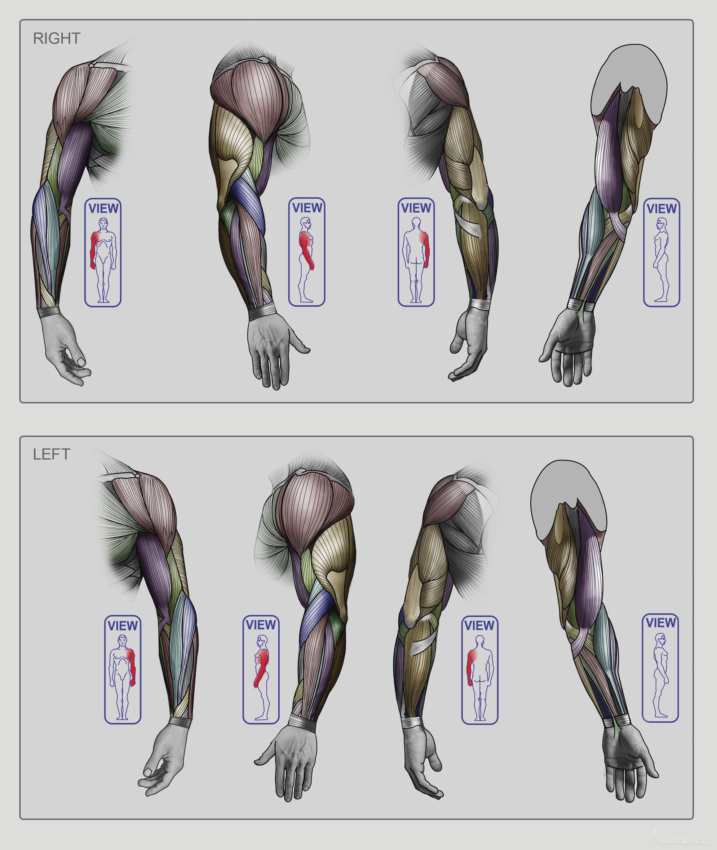 Anatomy Next   Anatomy of Upper limb Anatomy & features ...
