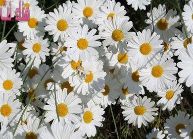 فوائد عديدة لزهرة البابونج تعرفي عليها واجعليها مشروبك اليومي