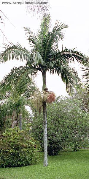 Bangalow Palm Archontophoenix Cunninghamiana Trees