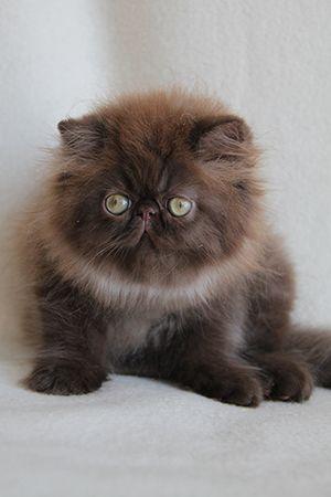 chocolate persian Aisalin cattery Here Kitty Kitty