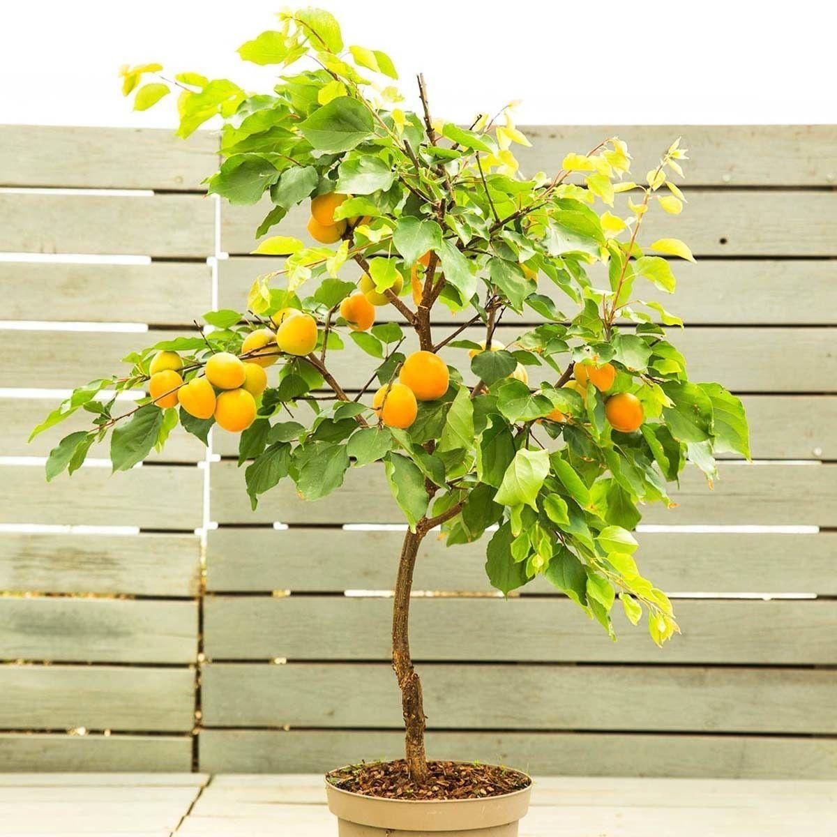 Aprikose Fruit Me Apricot
