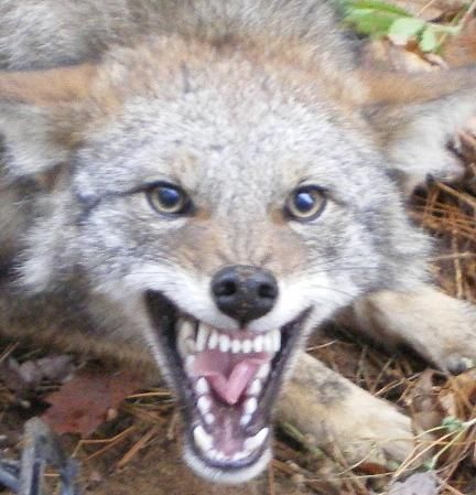 Foremost Coyote Hunting: Trapping Coyotes | Coyote hunting ...