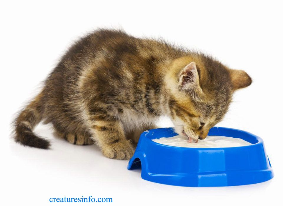 Can Cats Eat Yogurt And Is It Safe For Cats Cats Canning Dog Cat