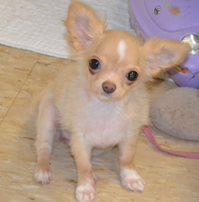Female Long Hair Chihuahua Puppies For Sale Female Teacup