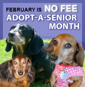 Dachshund Rescue Of North America Click Pic To See Adopt A Sweet Golden Oldie Doxie Who Is Waiting For Your Re Warm Heart Dachshund Rescue Dachshund Dogs