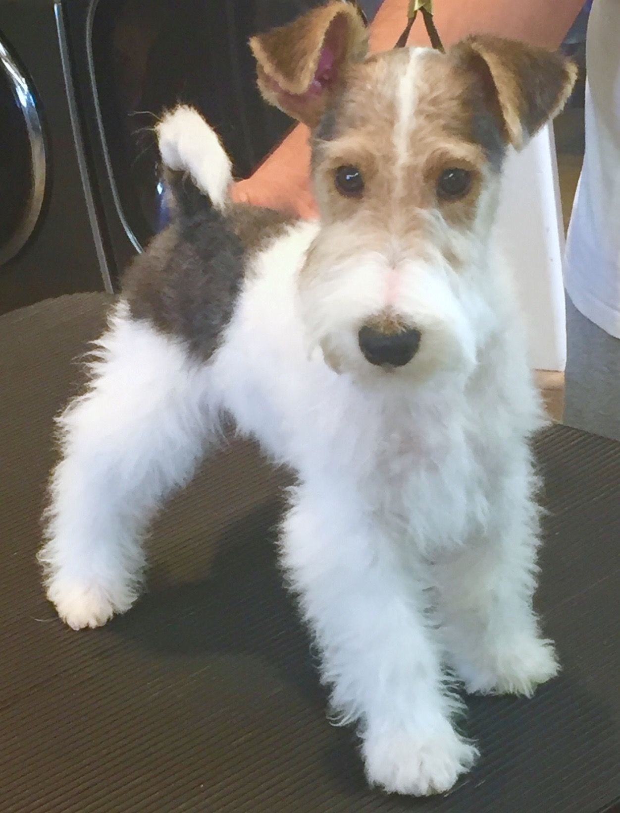Pin By Mitchell Mollway On Pets Fox Terriers Fox Terrier Puppy Wirehaired Fox Terrier Wire Fox Terrier