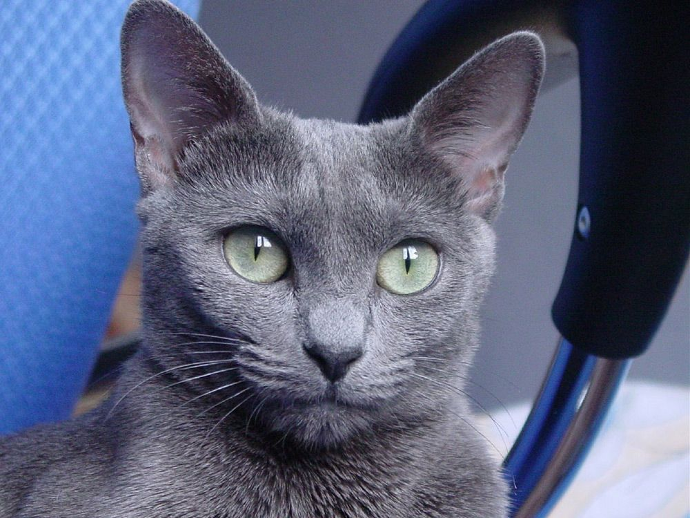 Russian Blue Cats Kittens Russian blue cat, Blue cats