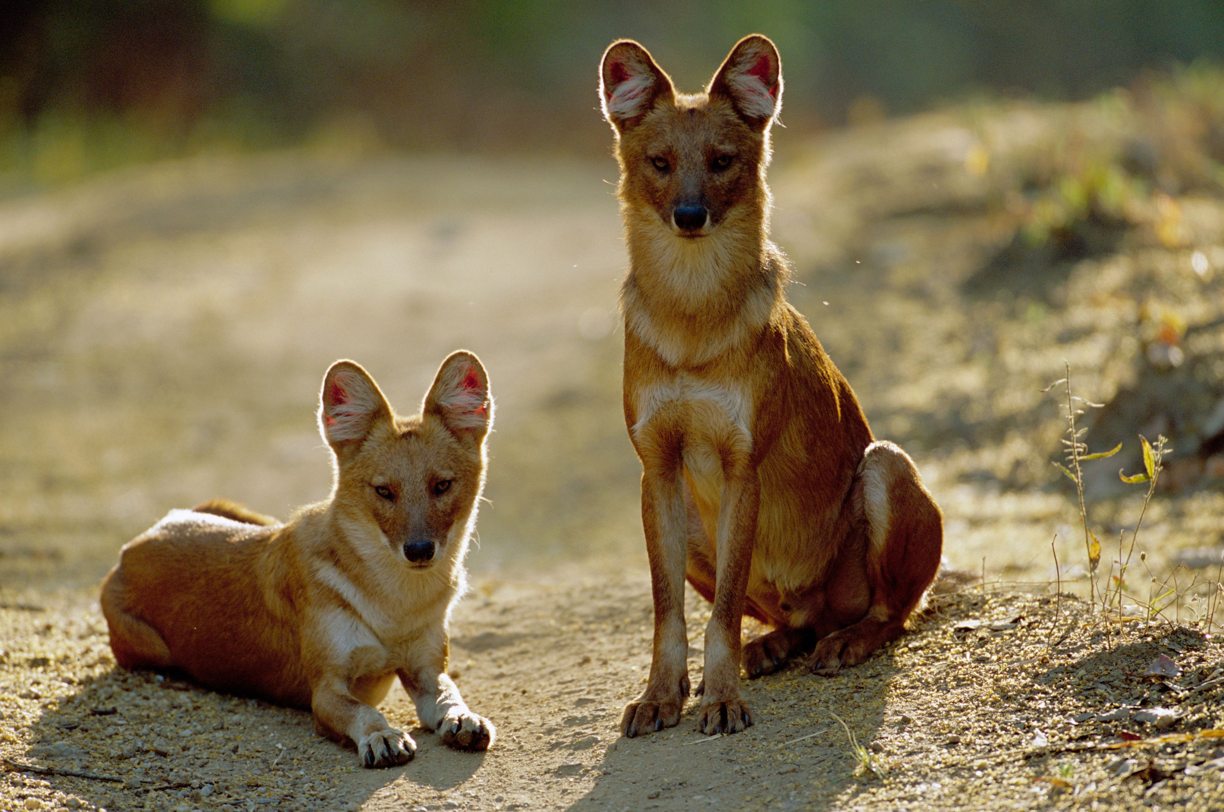 dhole animal coloring pages. The dhole  Cuon alpinus is also called the Asiatic wild dog or Indian