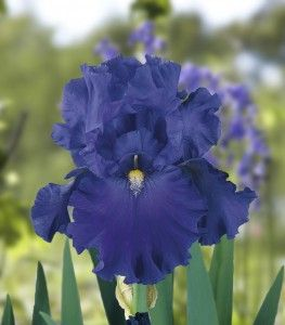 Bearded Iris - Blue Suede Shoes 8-2014