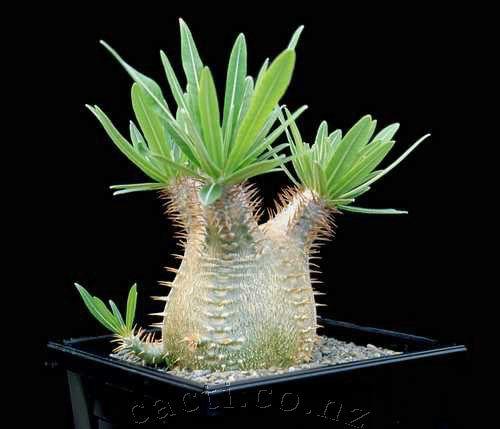 pachypodium-rosulatum-gracilius-pic4.jpg.