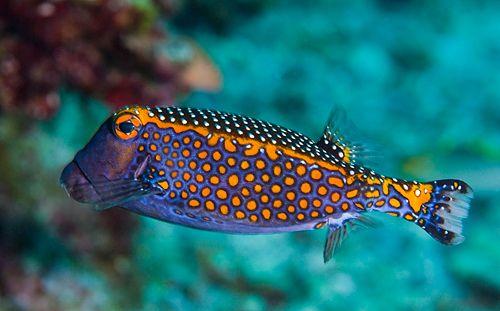 A Spotted Boxfish Male Saltwater Aquarium Fish Weird Sea Creatures Sea Animals