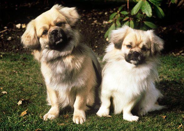 Learn About The Dwarf Dog Breeds Spaniel dog, Tibetan