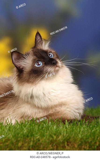 Pin på Sibirisk katt