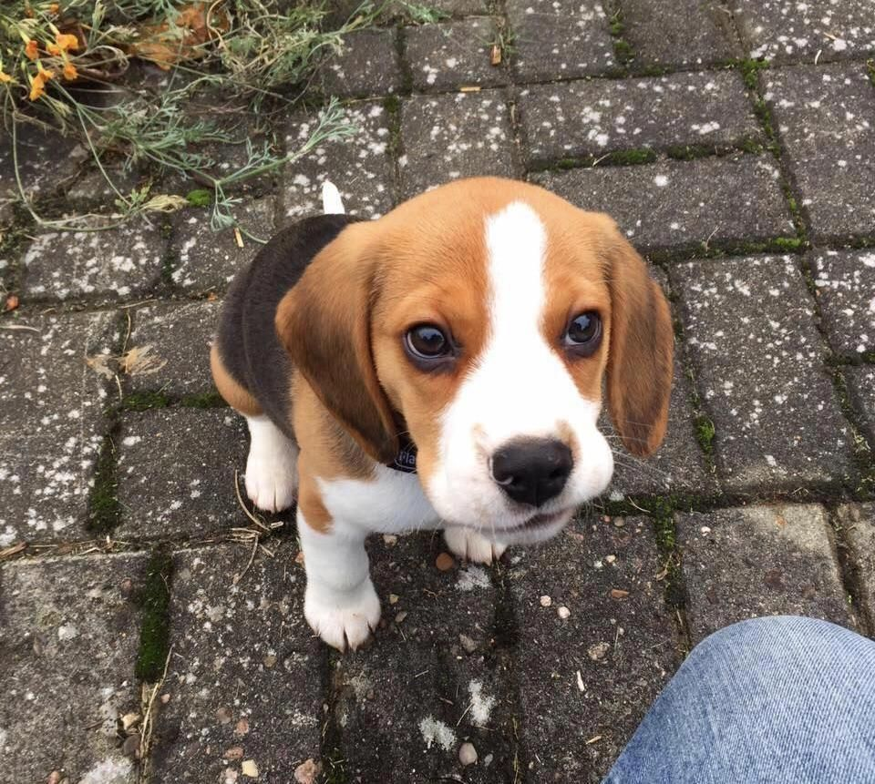 All About The Loving Beagle Puppies Grooming Beaglegang