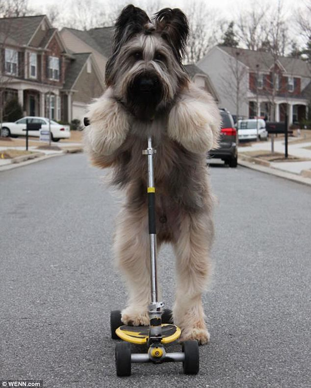 """*Norman* [a French Briard] gets his foot up on the scooter and prepares himself for the off on his scooter. He is a wizz at riding his scooter. The clever canine, who lives with the Cobb family in Canton, Georgia, competes in many obedience competitions and received his Companion Dog Title at just 15 months of age after four first place finishes. [by Daily Mail Reported from the http://animals-myfriend.blogspot.com/]"
