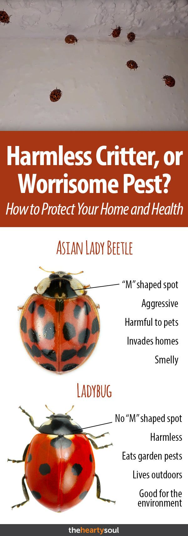 Asian Lady Beetles Where They Came From And How To Get Rid Of Them Lady Beetle Asian Beetle Asian Ladybugs