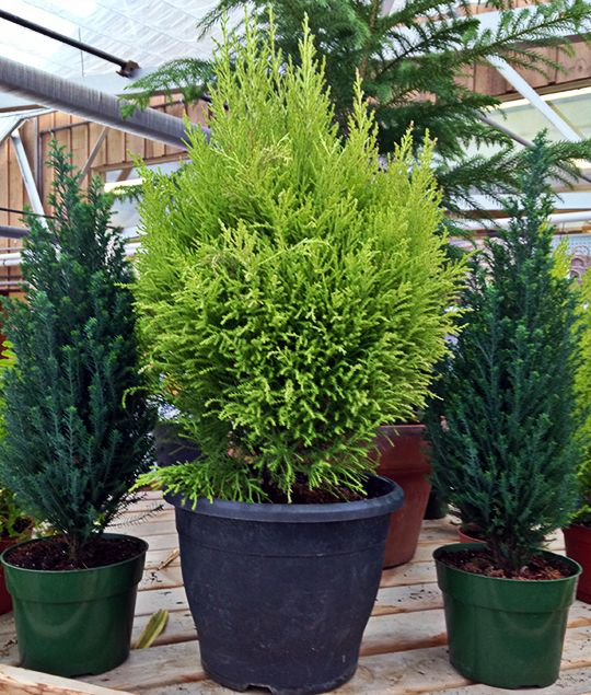 Indoor Evergreen Trees: Lemon-scented Cypress. A Lemon Cypress Is Coniferous