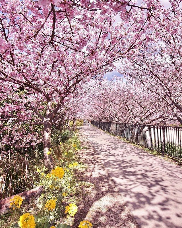 Just Try Not To Swoon Over All These Cherry Blossoms Photo Another Blue Sky Regram Travelgram Japan Beautiful Nature Blossom Trees Beautiful Places